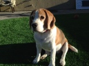 The Lone Beagle--bestseller right there.